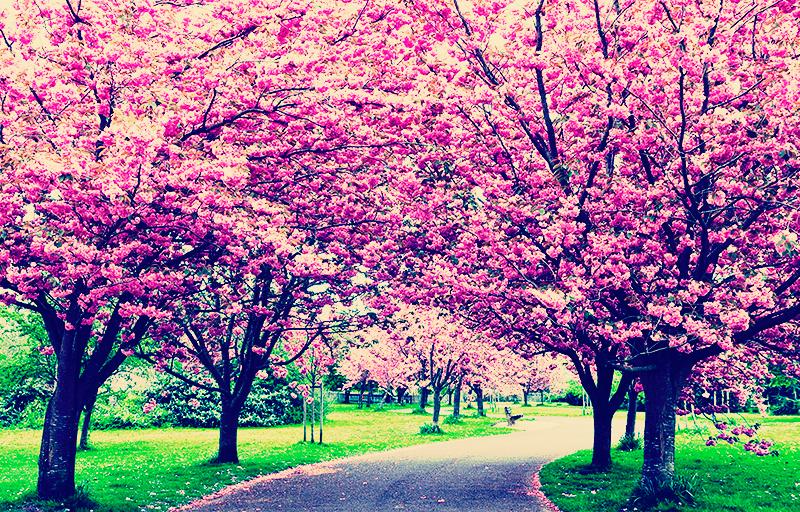 Cerejeiras florescem antes do previsto no Japão e preocupam cientistas;  entenda - TNH1